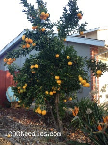 Our Orange Tree