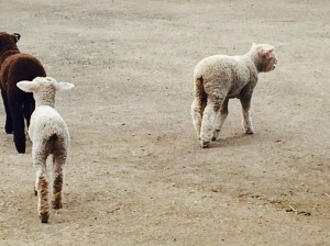 baby lambs at Ardenwood 4/27/14