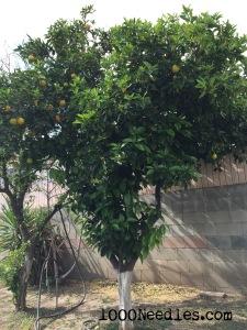 Orange Tree 2/21/15
