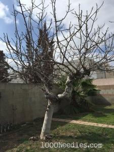 Fig Tree 2/21/15