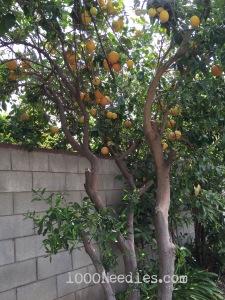Grapefruit 2/21/15