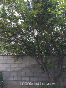Lemon Tree 2/21/15