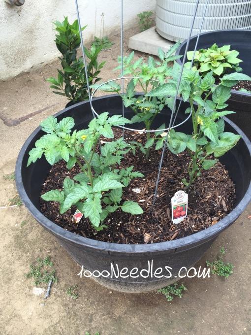 Tomatoes 4/12/2016